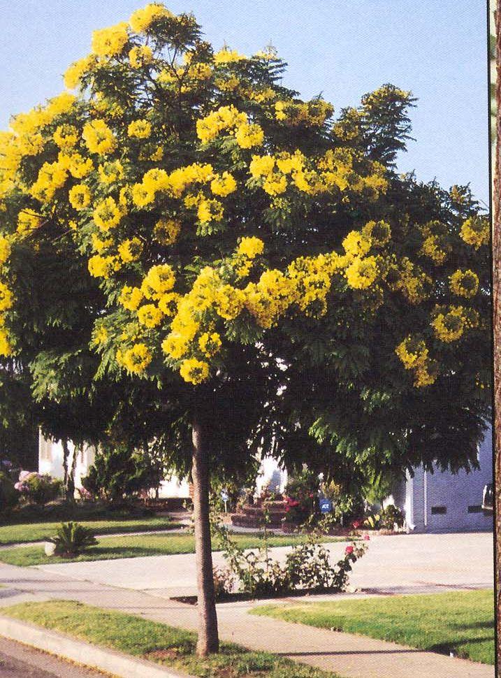 Cassia Leptophylla (gold medallion tree) | Pat Welsh ...