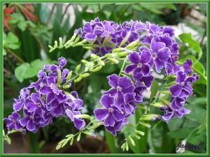 Duranta Quot Sweet Memories Quot Pruning Pat Welsh Organic And