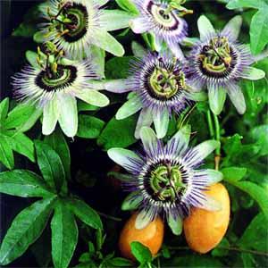 passion fruit flower fruit or vegetable