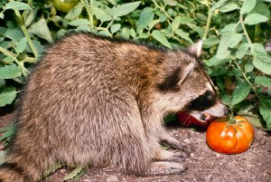 Raccoons in the vegetable garden pat welsh organic and southern california gardening How to keep raccoons out of garden