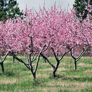 June Drop on Peach Trees and Proper Thinning of Fruit Pat Welsh