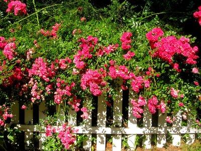 Choosing a Rambling Rose: Paul's Himalayan Musk | Pat Welsh